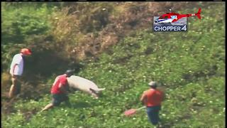 Pigs on the run after truck rollover in Wisconsin - Video