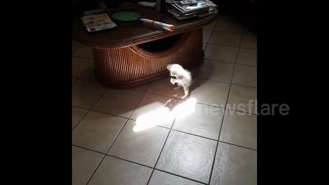 Adorable kitten tries to catch ray of sun