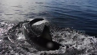 Cameraman gets splashed by great white shark - Video