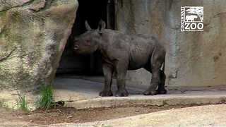 Cincinnati Zoo's Black Rhino Calf Kendi Has First Outdoor Exploration - Video