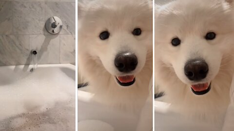 Samoyed doesn't respect owner's personal space during bath time