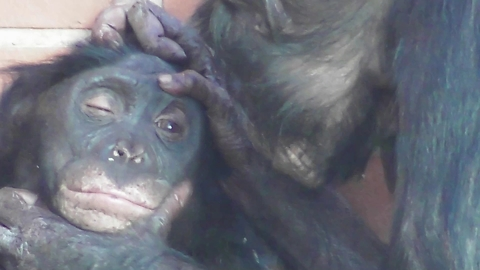 Curious ape wants to be both an optician and a dentist!