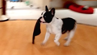 Pixel the French Bulldog adorably steals slippers - Video