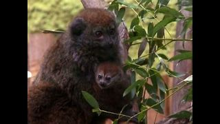 Rare Baby Lemur...And A Messy Divorce - Video