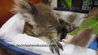 Old Injured Koala Chills in Cot and Eats Leaves