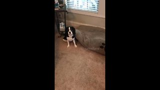 Milton the puppy is embarrassed when he's caught being mischievous - Video