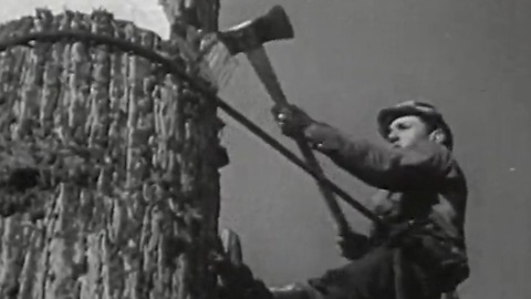 Original footage of 1940s lumberjacks felling Redwoods in California