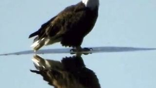 Bald Eagle Floats on Ice Down Mississippi River, Like a Boss - Video