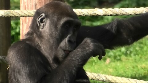 Gorilla youngster chases rabbit around his enclosure