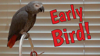 'Early Bird' Parrot Makes Hilarious Demands For Breakfast - Video
