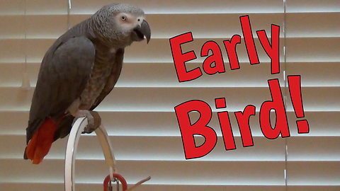 'Early Bird' Parrot Makes Hilarious Demands For Breakfast