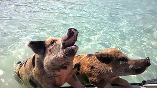 Swimming pigs demand food from tourists in the Bahamas - Video