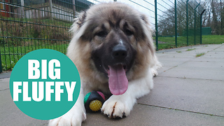 Fluffy the Caucasian Shepherd could be Britain's biggest rescue puppy - Video