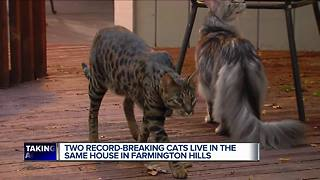 Metro Detroit man owns two record-breaking cats - Video