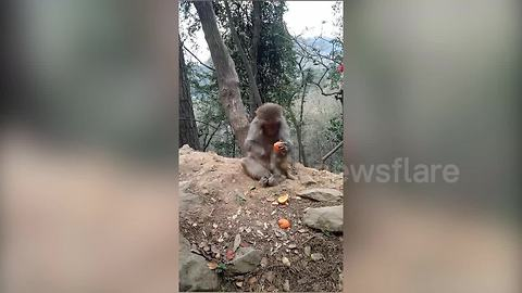 This monkey can peel tangerine better than you