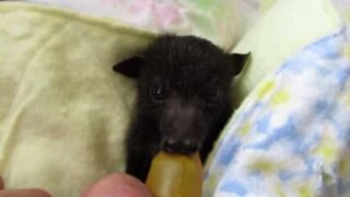 Baby bat rescued after his mother died