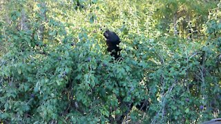Bear in Plum tree with two Elks