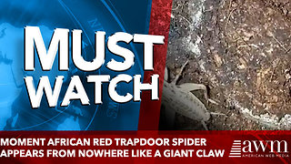 Moment African red trapdoor spider appears from nowhere like a GIANT claw - Video