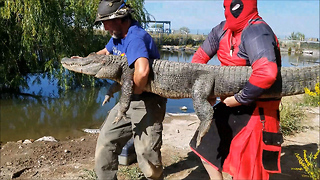 'Deadpool' Prevents Epic Battle Between Alligators  - Video