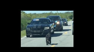 Bear Cub Receives Police Escort After Stopping Traffic in North Carolina