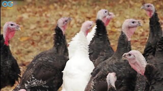 Turkeys Prepare For A Happy Thanksgiving - Life On The Farm