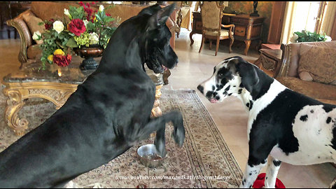 Impatient Bouncing Great Dane Wants To Play ....Right This Minute!
