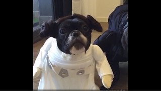 French Bulldogs love Star Wars cosplay outfits