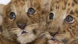 Two liger cubs born in Chinese zoo - Video