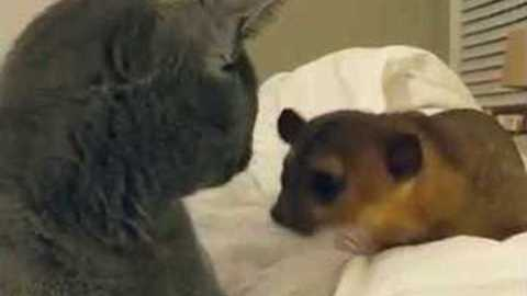 Kinkajou Desperately Wants To Befriend A Cat