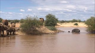 Adult elephant charges baby hippo - Video