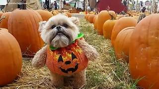 Munchkin the Teddy Bear visits a pumpkin patch
