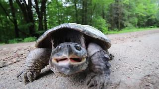 Tortoise snaps at camera - Video