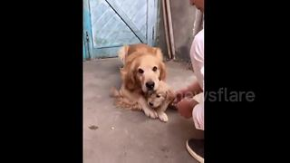 Protective Golden Retriever Prevents His Puppy From Shaking Hands With Owner - Video