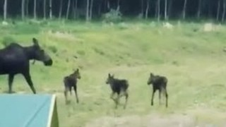 Young Moose Triplets Frolick Near Alberta Forest - Video