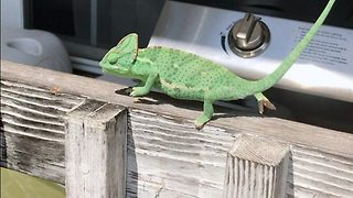 Strictly cam dancing – Chameleon shows off his dance moves - Video