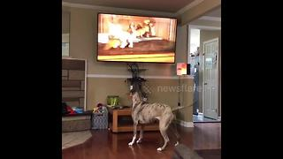 Pit bull wants to play with cartoon puppy on TV - Video