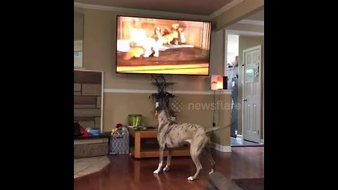 Pit bull wants to play with cartoon puppy on TV