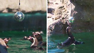 Happy feet! Dancing penguins enjoy disco ball