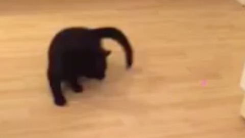 CUTE! Dizzy laser chasing cat