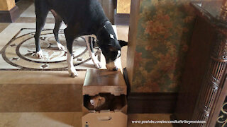Cat Watches As Funny Great Dane Traps A Cat In A Box