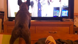 French Bulldogs hilarious reaction to cats on TV - Video