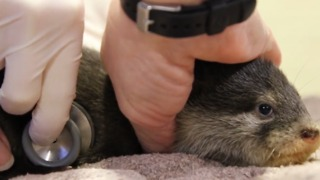Otter-ly Adorable Pups Given First Health Check - Video