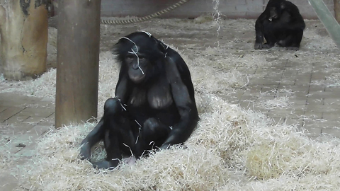 Ape family holds hilarious spinning competition