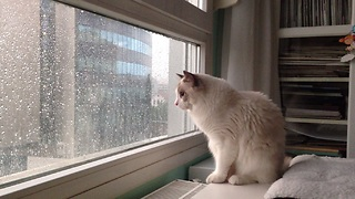 Cat loves the rain, can't stop watching - Video