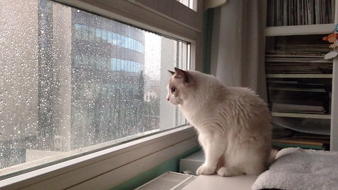 Cat loves the rain, can't stop watching