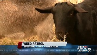 Wet spring weather blankets southern Arizona with weeds