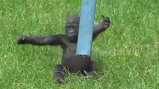 Adorable, stumbling baby gorilla plays in his enclosure - Video