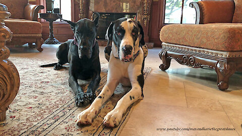 Beautiful Black and Harlequin Great Danes Pose for a Portrait
