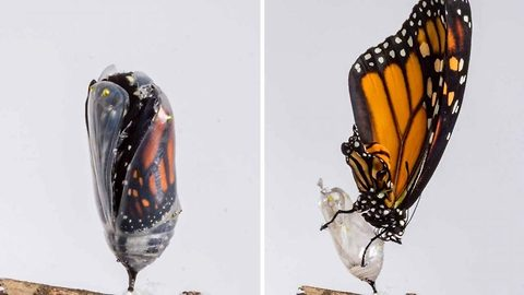 Amazing Photo Sequence Shows Butterfly's Transformation