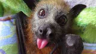 Tiny Flying Fox Smacks Her Lips for More Food - Video